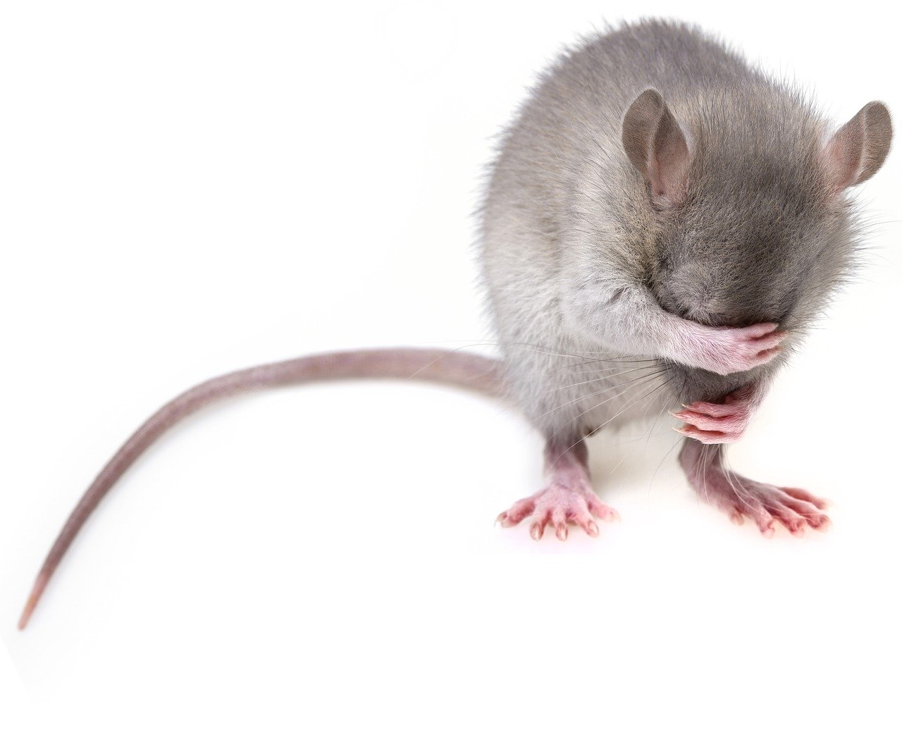 mouse, rodent, rat
