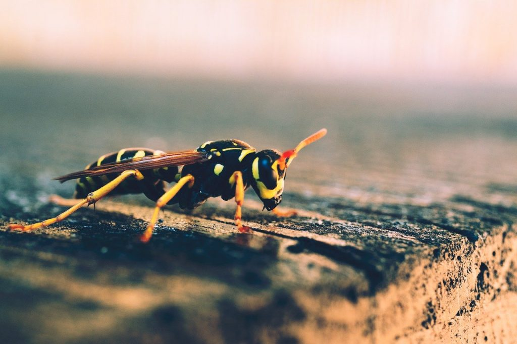 wasp, bee, insect